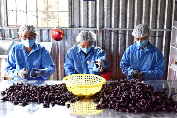 Công nhân đang tiến hành tách vỏ từ củ ấu tươi. Nguồn: NVCC.