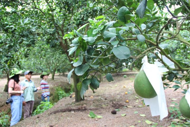Các loại cây có múi như bưởi, cam... cũng đang được tổng giám đốc Phạm Quốc Liêm thử nghiệm và sắp tới sẽ tung ra thị trường những lứa sản phẩm đầu tiên. Ảnh: Thành Nhạn.