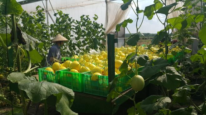 Dưa lưới là sản phẩm thành công đầu tiên của Unifarm trước khi mạnh dạn thử nghiệm những loại trái cây khác. Ảnh: NVCC.