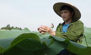 Cử nhân báo chí bỏ nghề về quê trồng chè ướp sen