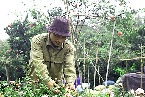 Anh Đào Mạnh Hùng tự tay chăm sóc từng giống hoa hồng cổ. Ảnh: Gia Hoàng.