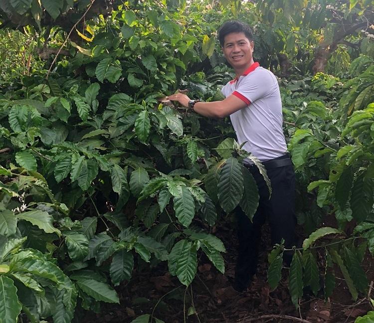 Lê Văn Vương chăm sóc cây cà phê hữu cơ.